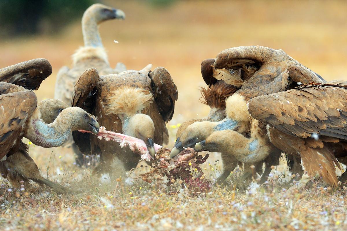 Vulture restaurants