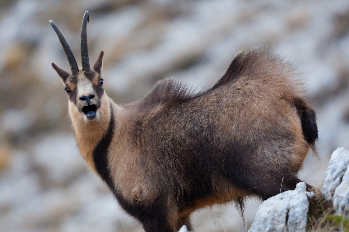 Return of the Apennine Chamois