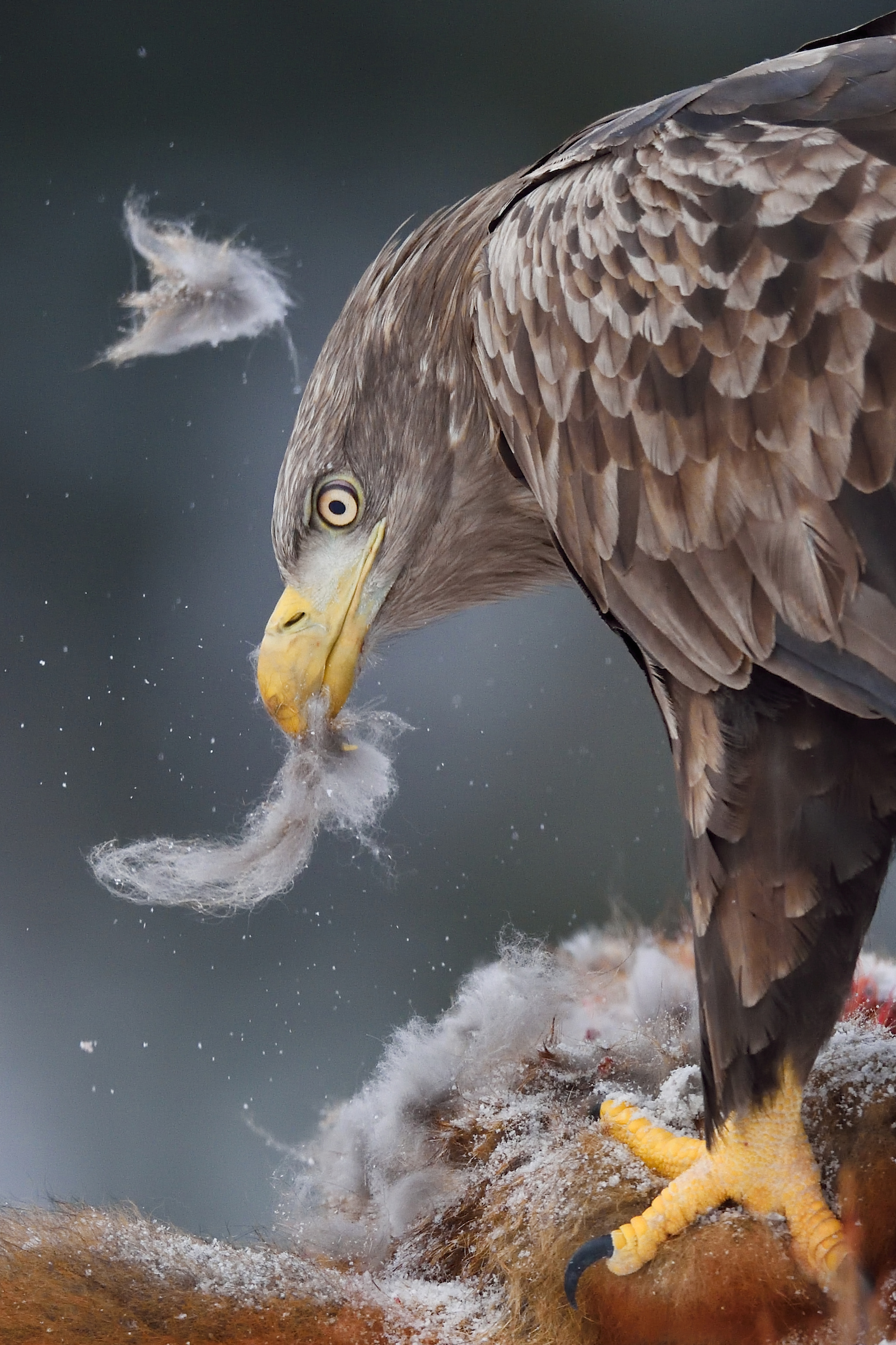 White-tailed eagle feeding on carcass
